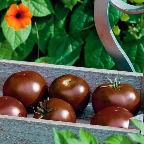 Schokoladen-Tomatenpflanze Kakao, veredelt, im ca. 12 cm-Topf