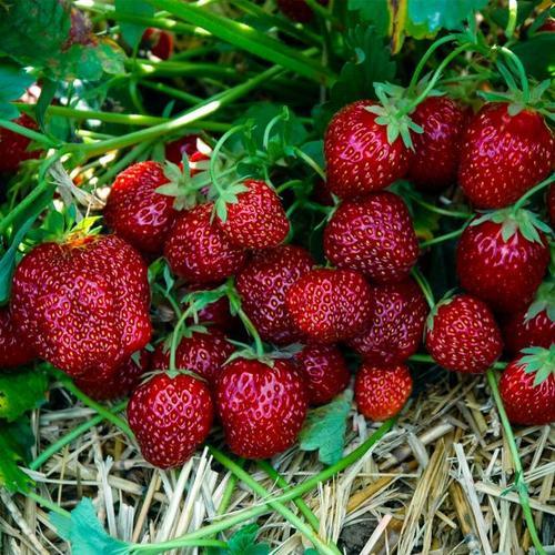 Erdbeere Aroma Auslese 12er-Set, im ca. 7 cm-Topf