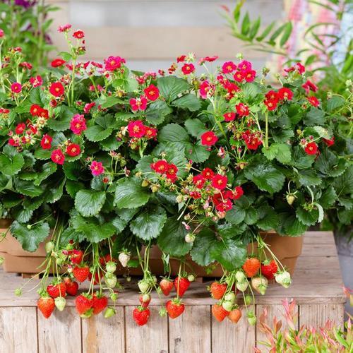 Balkon-Erdbeere, rotblütig, im ca. 11 cm-Topf