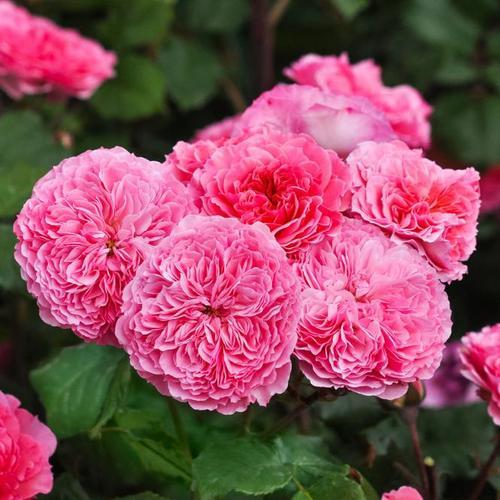 Essbare Culinaric Rose, rosa-apricot, im ca. 22 cm-Topf