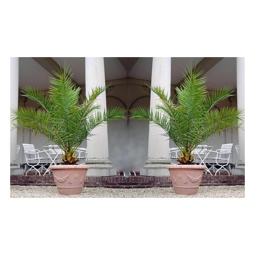 2x Kanarische Dattelpalme in 60-70 cm