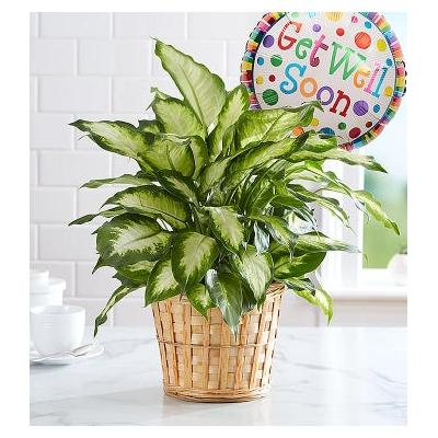 Get Well Green Plant With Balloon by 1-800 Flowers