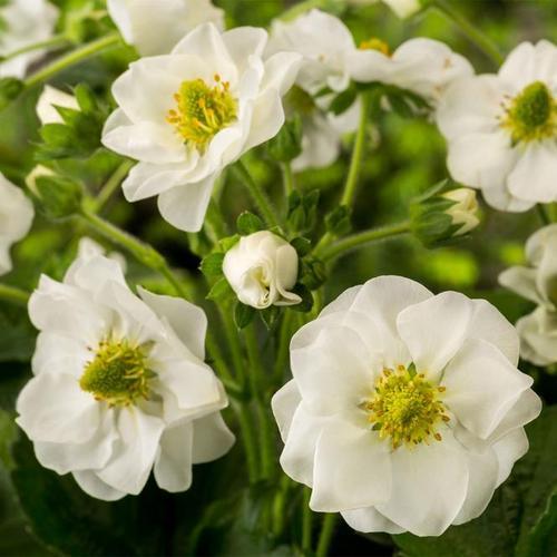 Weißblütige Balkon-Erdbeere, im ca. 11 cm-Topf