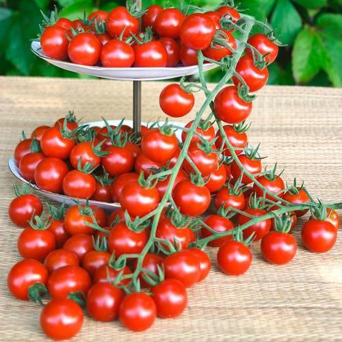 Tomatenpflanze Philovita, im ca. 11 cm-Topf