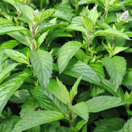 Englische Pfefferminzpflanze Citaro, im ca. 12 cm-Topf