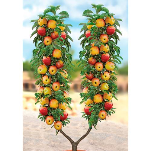 BCM Obstbaum Apfel U-Form weiß Obst Pflanzen Garten Balkon