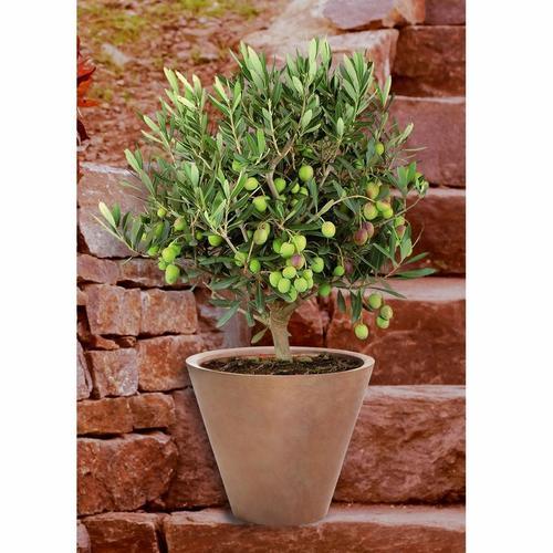 BCM Olivenbaum Olivenbaum, Ministamm grün Pflanzen Garten Balkon