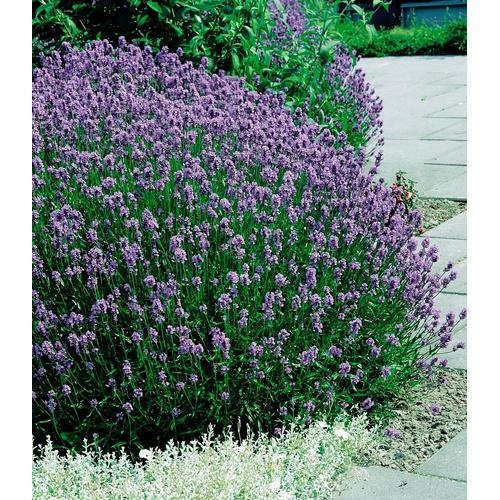 BCM Beetpflanze Lavendel lila Beetpflanzen Pflanzen Garten Balkon