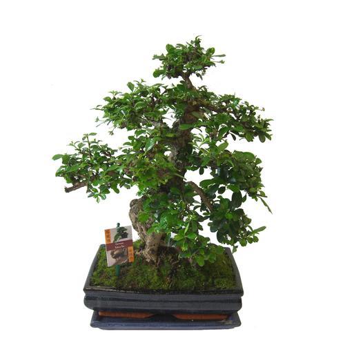 BCM Zimmerpflanze Bonsai grün Zimmerpflanzen Pflanzen Garten Balkon