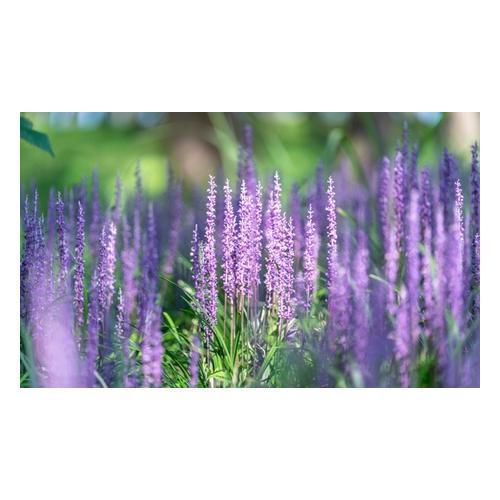 Lilientraube-Pflanze: 4