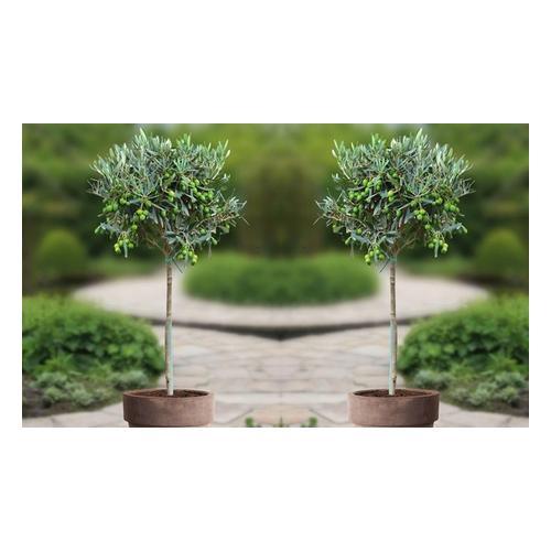 1x Olivenbaum 100-120cm