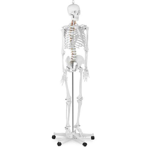 Skelett Modell Menschliches Skelett Anatomisches Modell Skelett Lebensgroß Physa