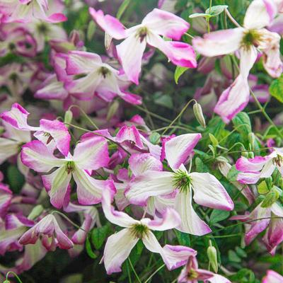 Clematis I Am Lady Q