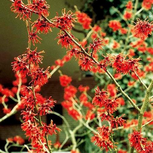Zaubernuss Feuerzauber, rot, im ca. 21 cm-Topf