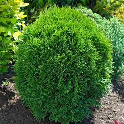 Little Giant Arborvitae Hedge - 10 Plants