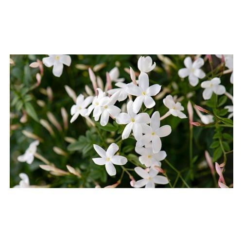 Jasmin-Pflanzen: 6