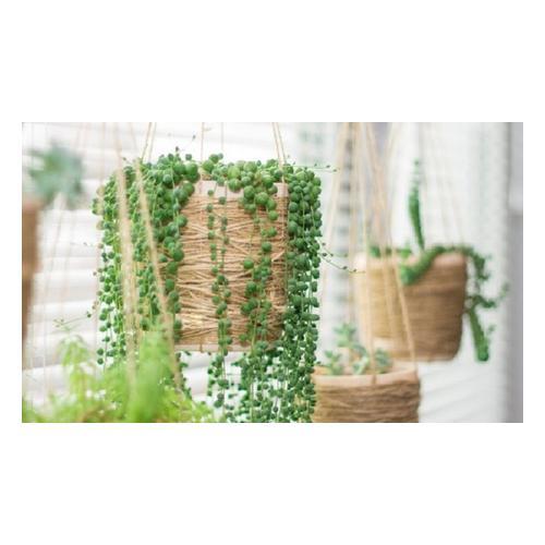 Erbsenpflanze : 1