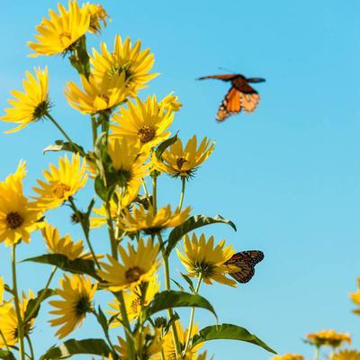 Maximillian Perennial Sunflower