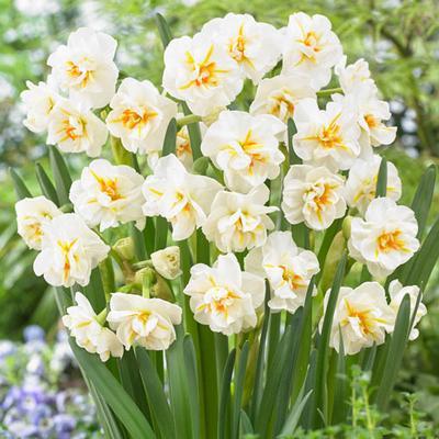 Double Daffodil Sir Winston Churchill