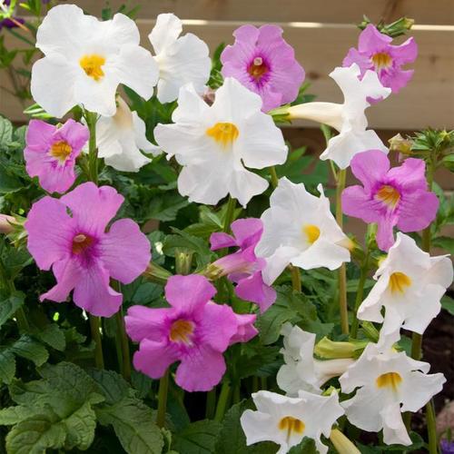 Trompetenblumen-Mischung