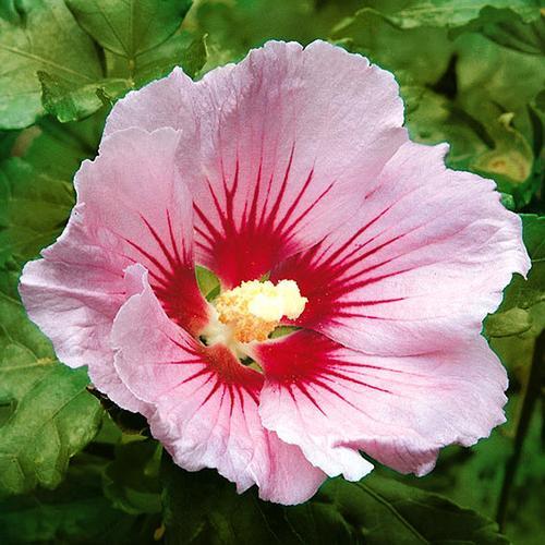 Garten-Hibiskus Hambo, im ca. 23 cm-Topf
