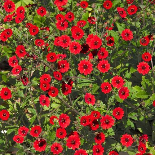 Rotes Bodendecker-Fingerkraut, im ca. 9 cm-Topf