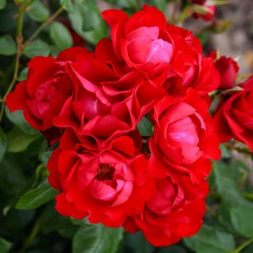 Beetrose Black Forest Rose®, im ca. 23 cm-Topf