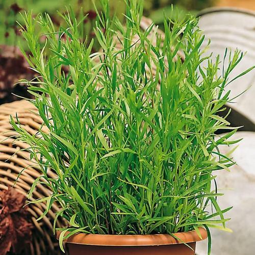 Küchenkräuterpflanze Estragon Pfefferkorn, im ca. 12 cm-Topf