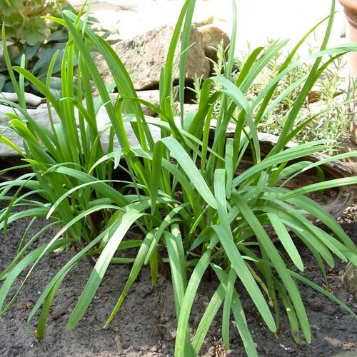 Kräuterpflanze Schnitt-Knoblauch, im ca 12 cm-Topf