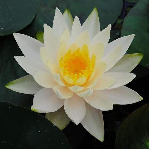 Seerose Albida, weiß, im ca. 11 cm-Topf