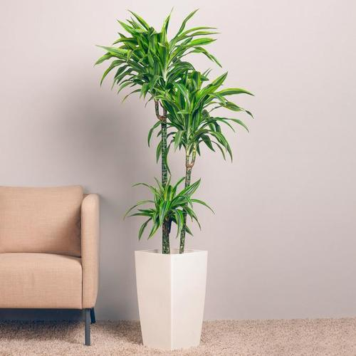 Drachenbaum Fragans, 3er Tuff, im ca. 21 cm-Topf