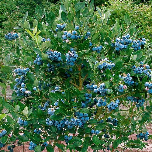 Garten-Heidelbeere Poppins®, im ca. 17 cm-Topf