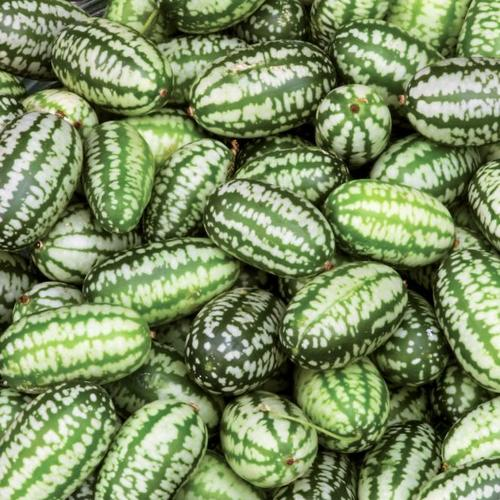 Gurkenpflanze Mexikanische Minigurke, im 11 cm-Topf